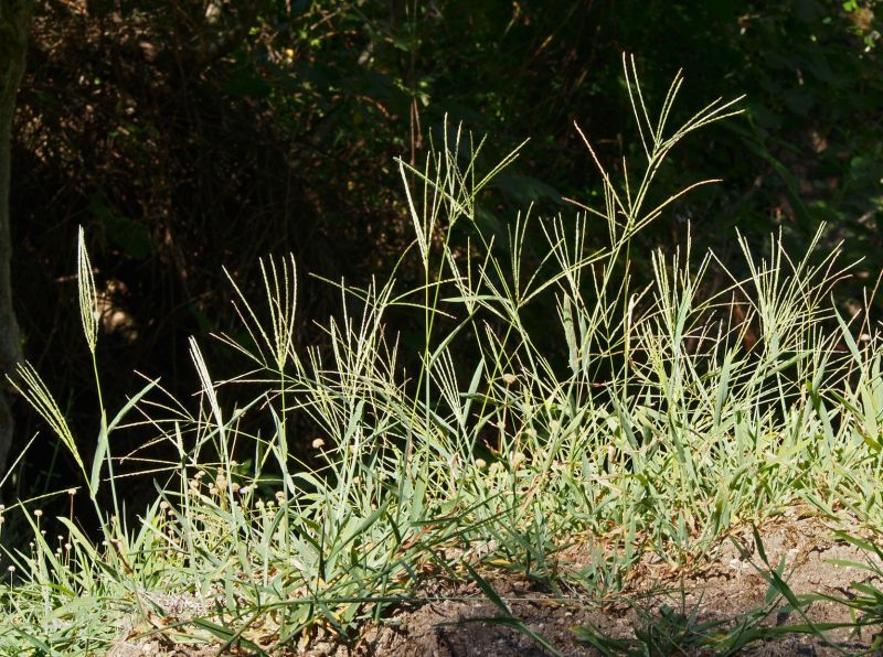 Large Of How To Kill Bermuda Grass