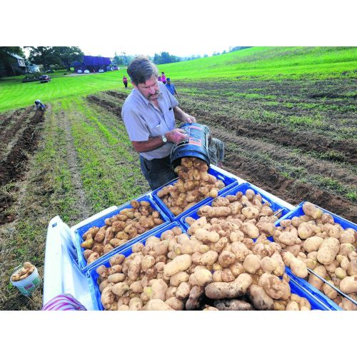 Medium Crop Of How Many Potatoes In A Pound