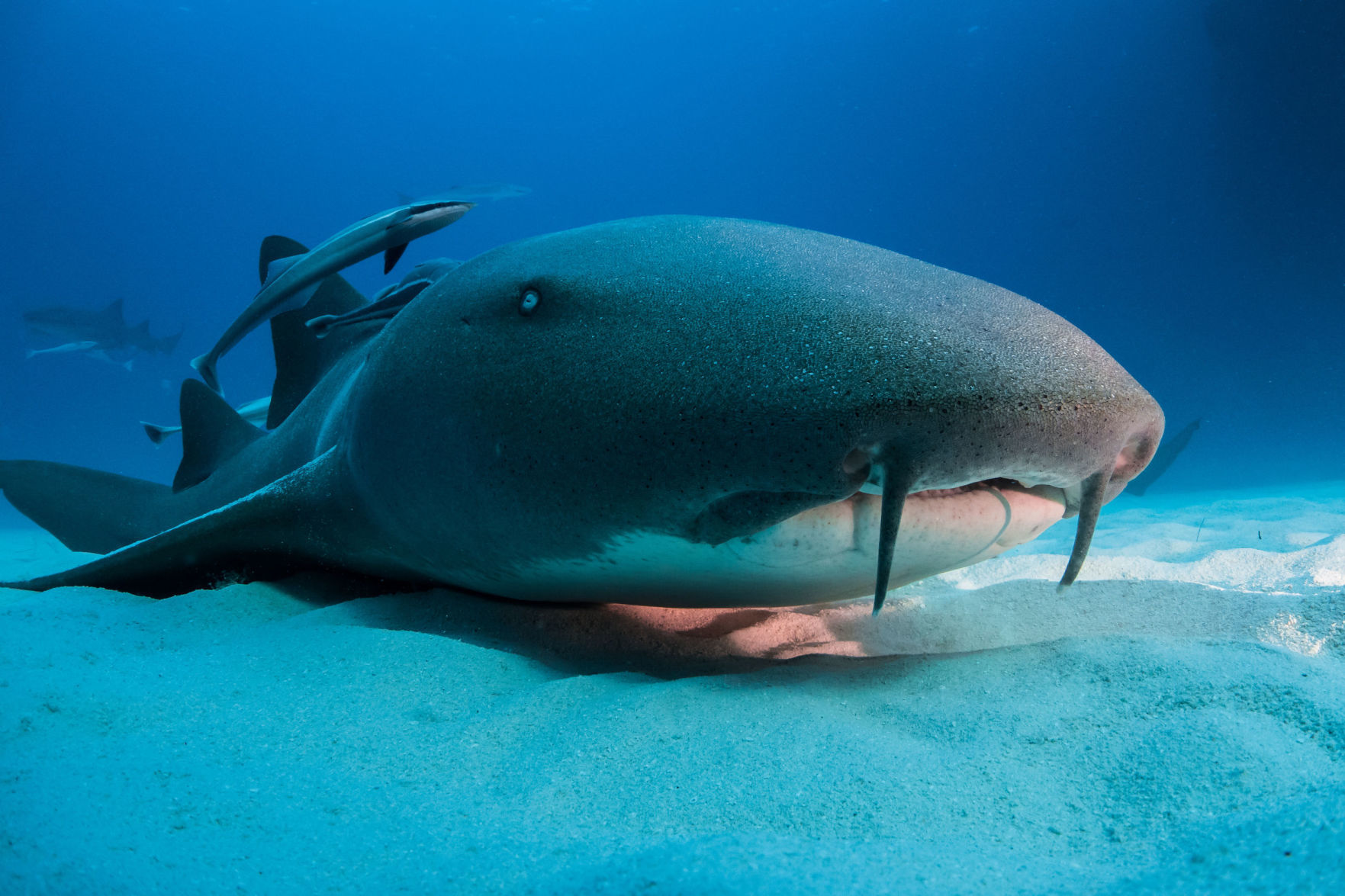 Rare double shark attack closes Florida beach  bites were just     Nurse shark