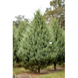 Small Crop Of Carolina Sapphire Cypress