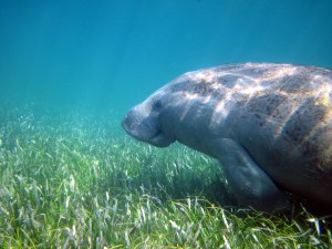 Seagrass meadows capture carbon via photosynthesis and store carbon in their biomass and sediments. Seagrass habitats also support many different marine species, including this manatee.