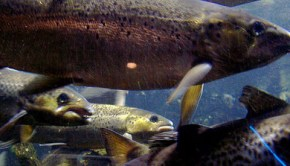 International effort to create genome map of Atlantic salmon