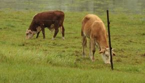 Cattle on high ground during Australia floods