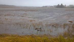 Hurricane Sandy Rachel Carson NWR Mallards