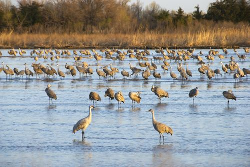 Sandhill Cranes on the Platte River in Nebraska
