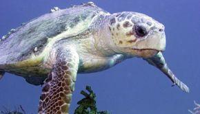 Loggerhead sea turtle swimming in the Florida Keys