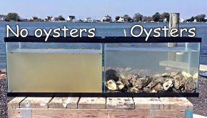 oysters-clean-water