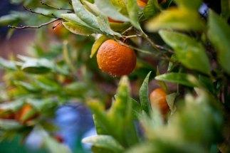 2-7-2014 Dancy Mandarin Tangerine