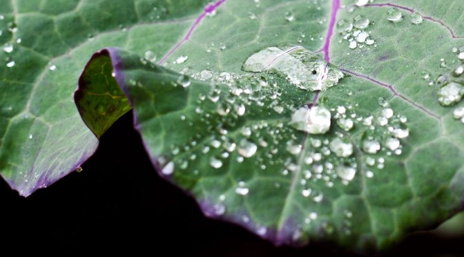 Purple Tree Kale and Rain Drops