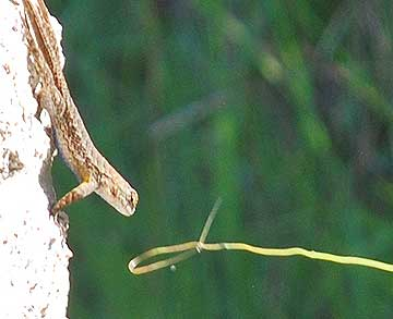 How to catch a lizard: The lizard doesn't seem to see the stalk of grass, or even mind being hit on the head with it.