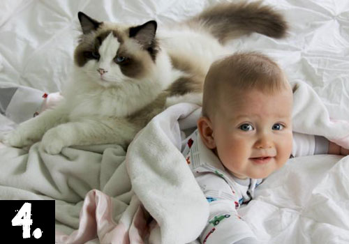 Ragdoll-Cat-Top-10-breeds-in-USA