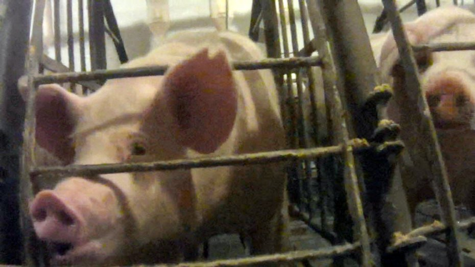 Still from undercover video released this week by The Humane Society of The United States shows a pig in a gestation crate at Iron Maiden Farms in Owensboro, Kentucky.