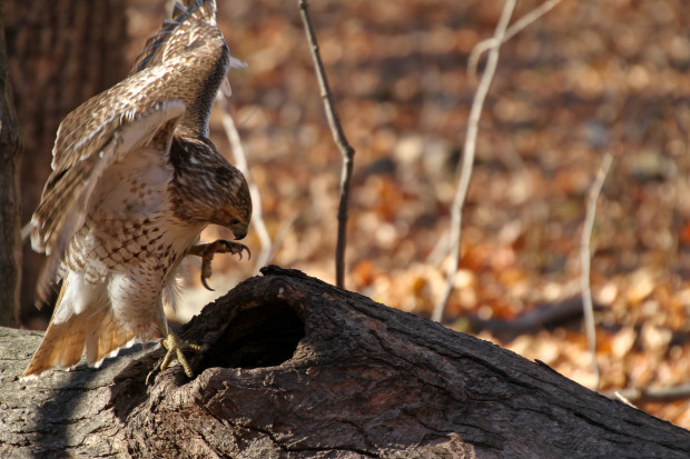 Red-tail hawk trying to get a squirrel out of a knot hole in a log, where it had taken refuge. Photo by Cara Litberg.