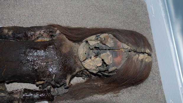 The black chest of this Chinchorro mummy shows signs of degradation, even though it is housed at the University of Tarapacá's archeological museum in Arica, Chile.  COURTESY OF VIVIEN STANDEN