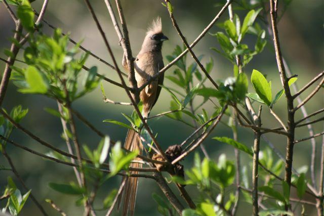 Mousebird
