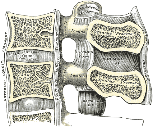 spine-ligaments