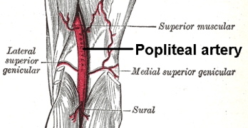 Popliteal Artery Anatomy and Course