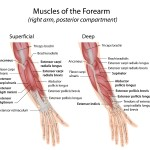 Extensor muscles of hand and forearm