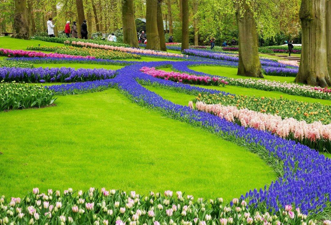 A river of blue flowers in Keukenhof