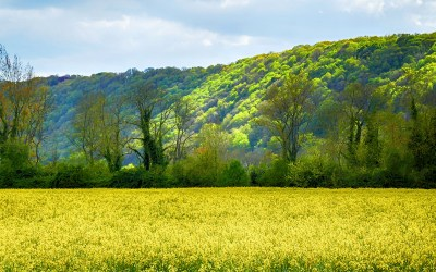 Rapeseed fields in France