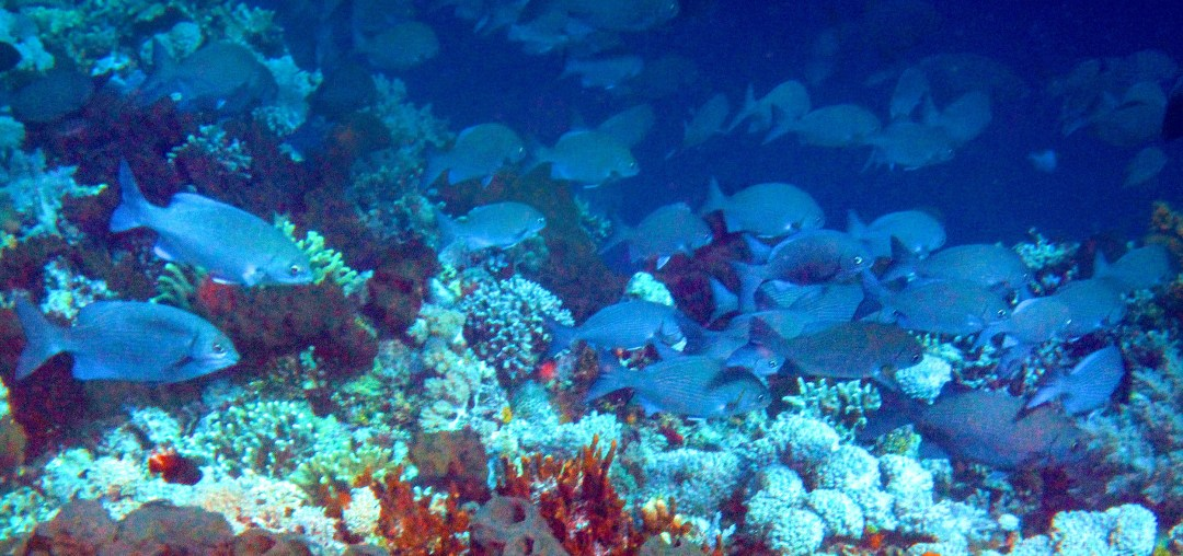 School of blue fish in Bunaken for boomervoice