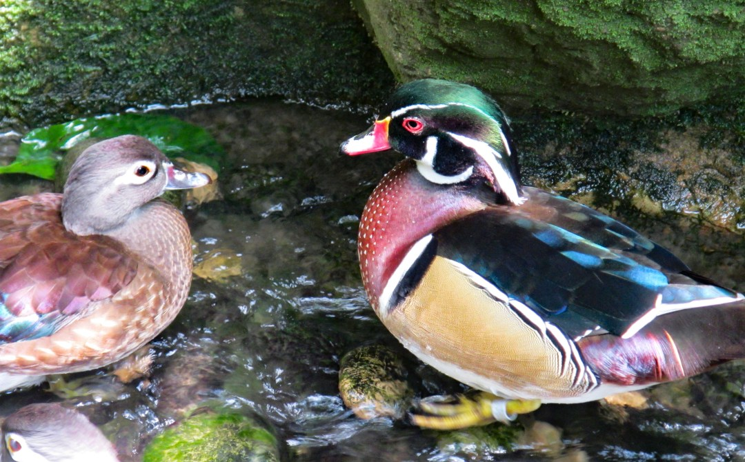 Friendly wood ducks for Benefits of solo travel on boomervoice