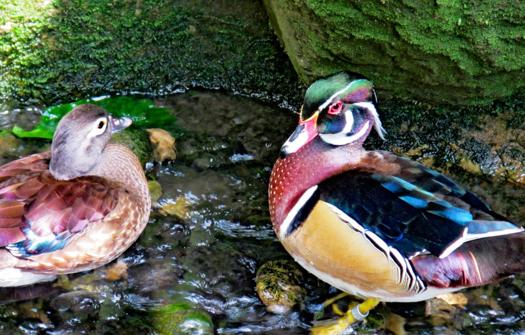 Woods Ducks not friends for Benefits of solo travel on boomervoice
