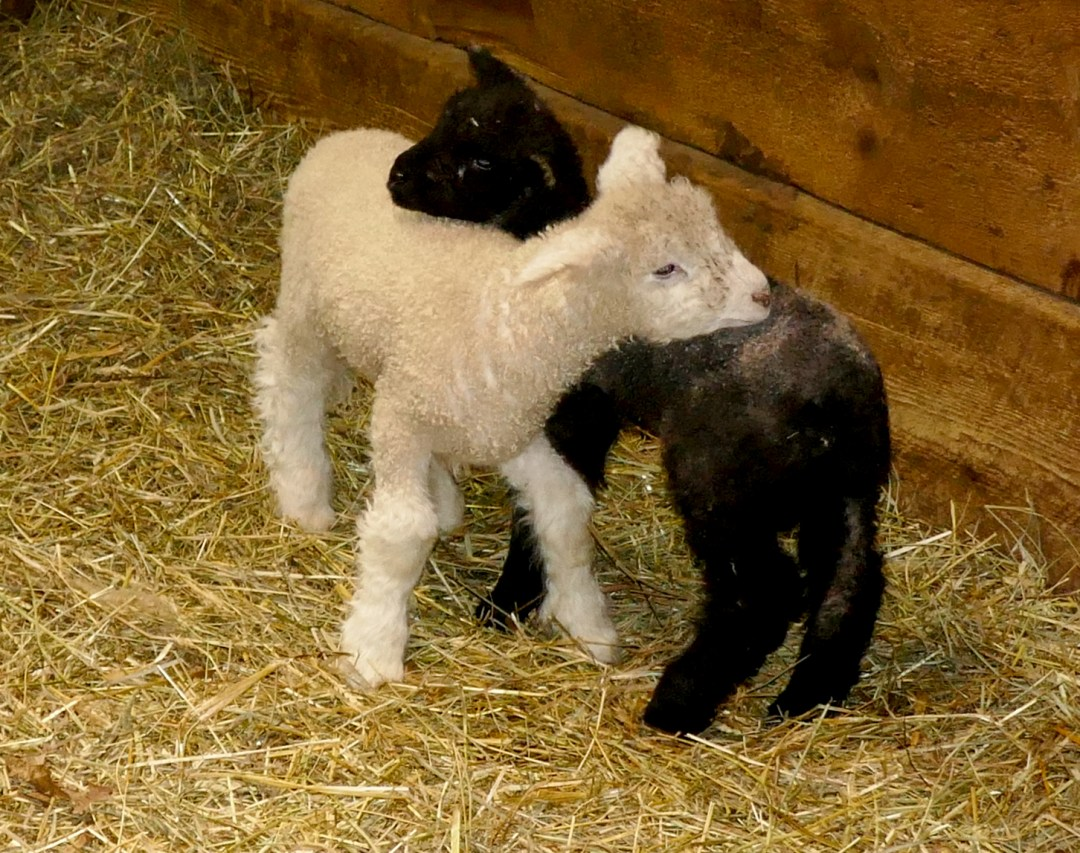 Why blog lambs at Riverdale Farm for boomervoice