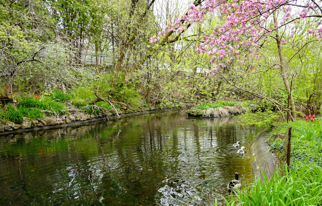 Duck pond in Riverdale Farm in Cabbagetown for boomervoice