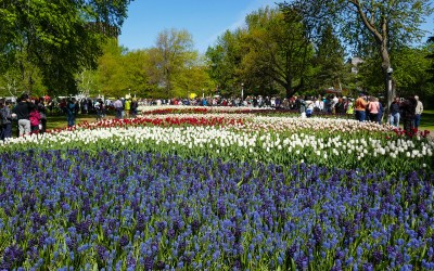 Ottaw 150 Grape Hyacinth and Tulip Wave at Ottawa Tulip Festival
