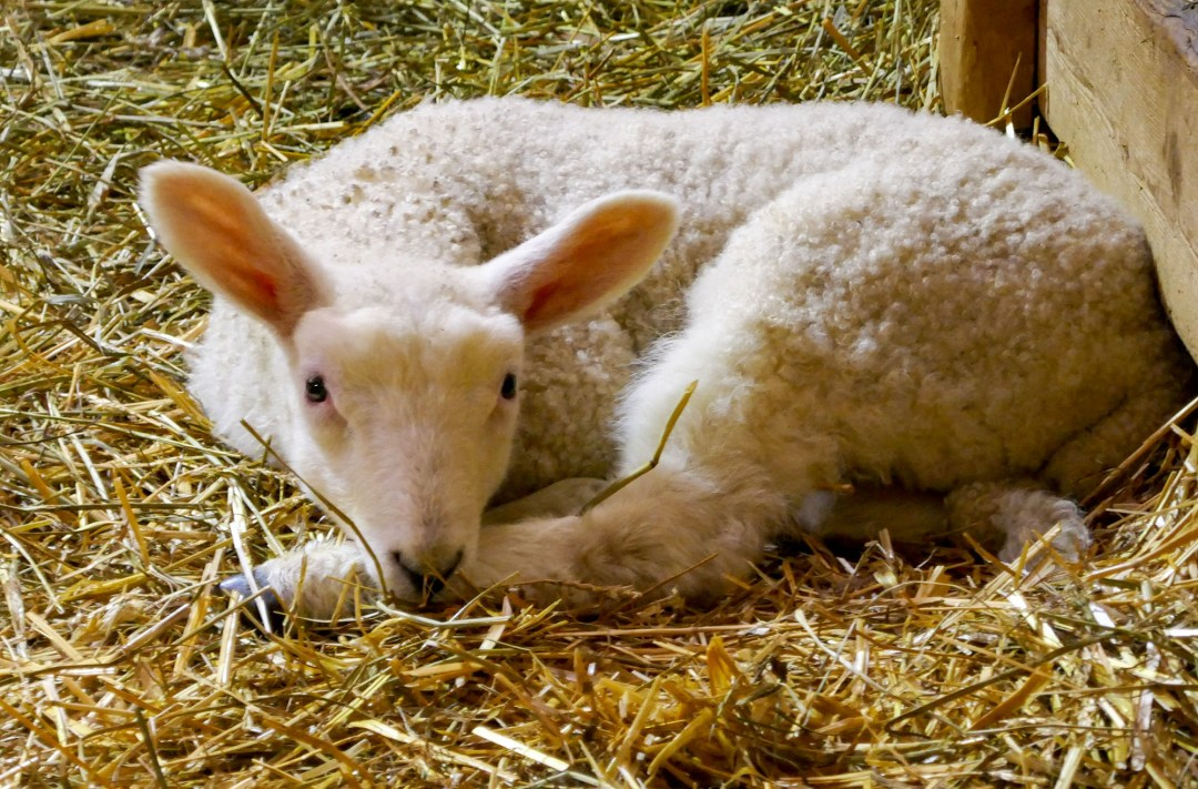 Lamb at Riverdale Farm in Cabbagetown for boomervoice