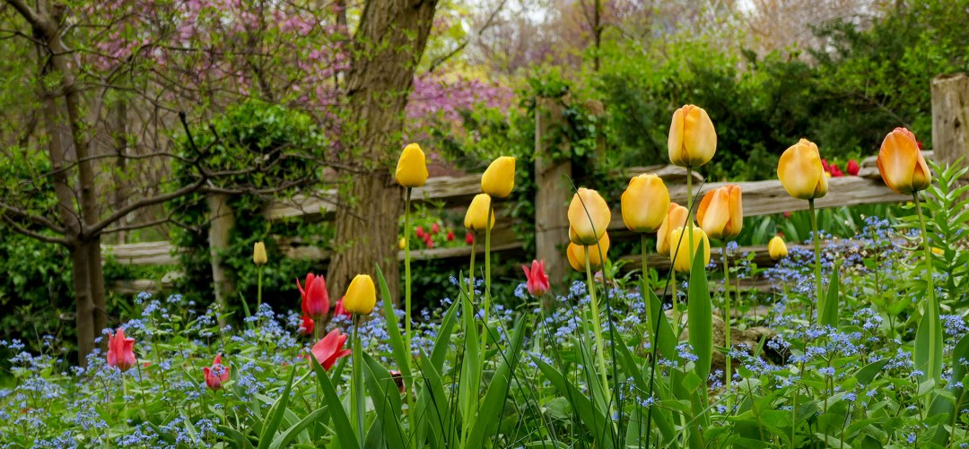Woodland tulips in Riverdale Farm in Cabbagetown for boomervoice