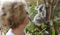 Koala feature image