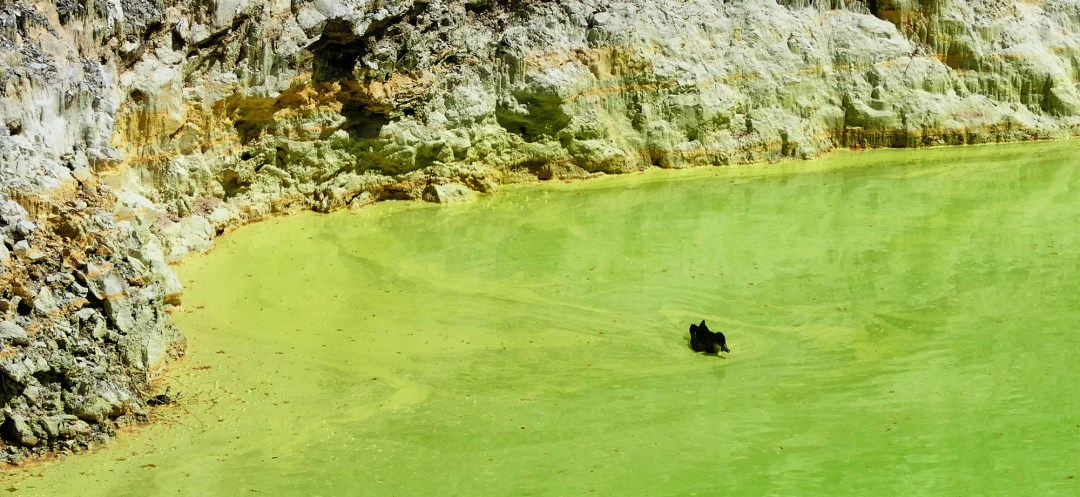 Duck swimming in sulphur pool at Waiotapu Geothermal Park near Rotorua New Zealand for boomervoice