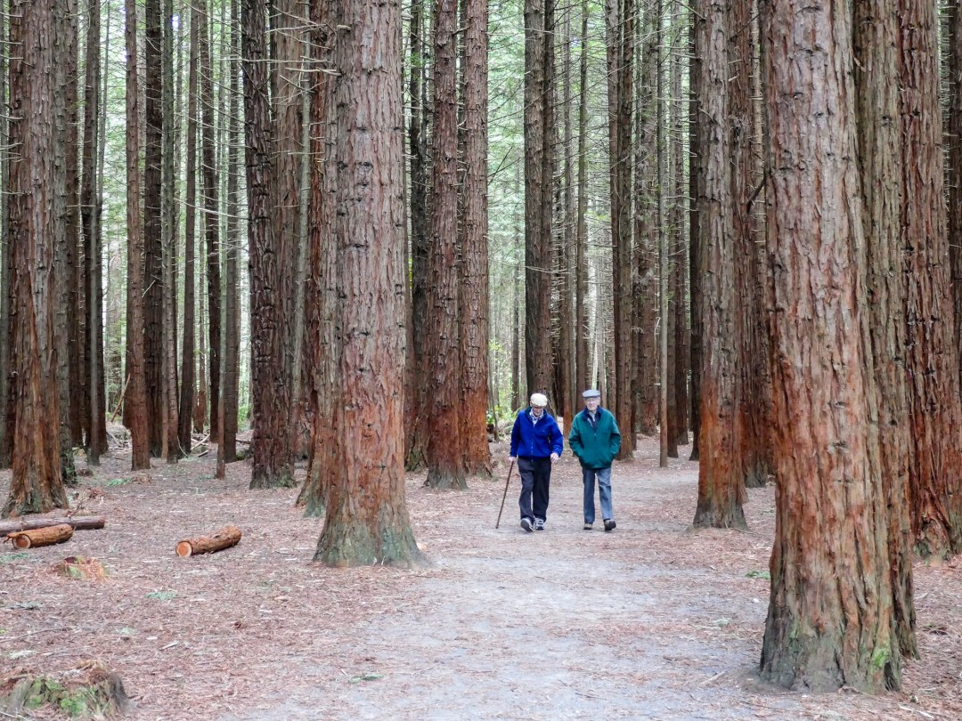 Walking in the redwood forest in Rotorua for boomervoice