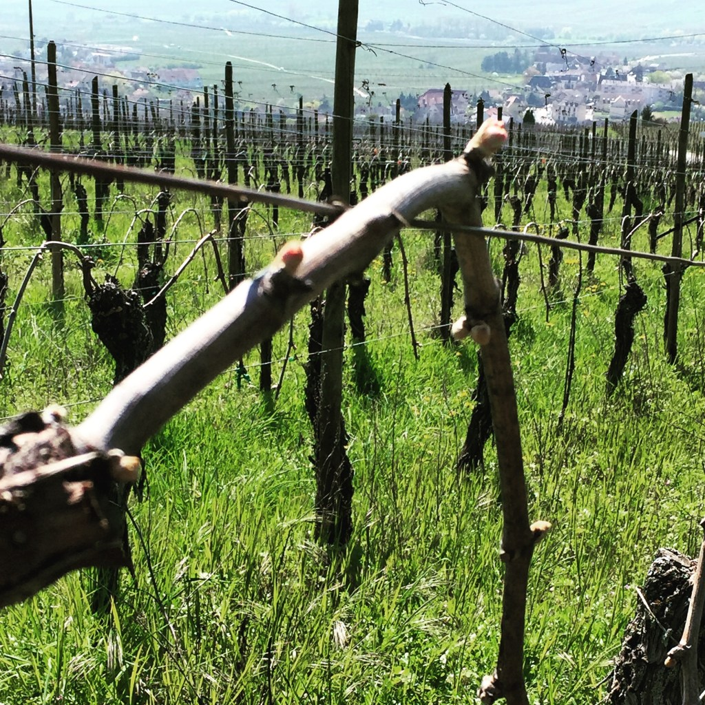 We arrived at bud break in the vineyards