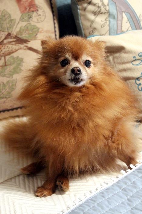 Rosie the Pomeranian #rescuedog