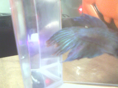 Two Parts to Treating Fin Rot | Betta Fish Care