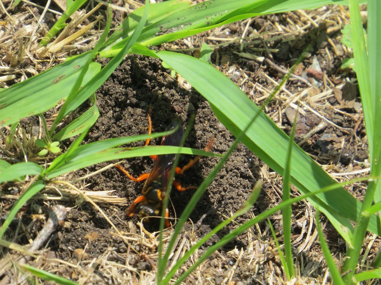 Fullsize Of Great Golden Digger Wasp