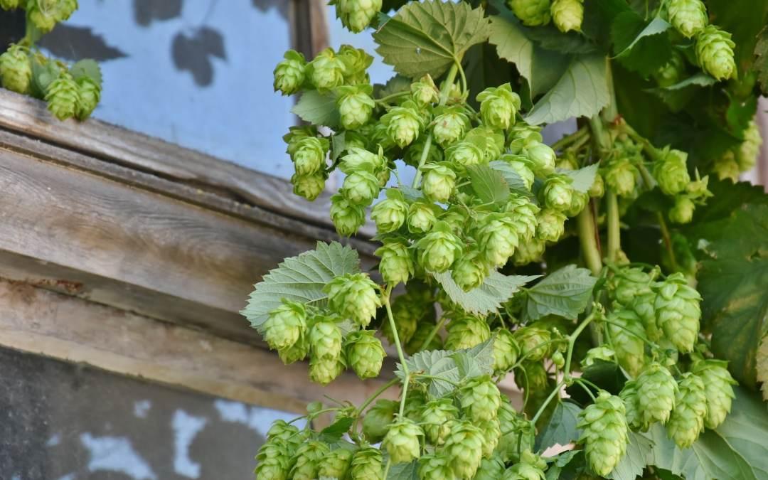 Houblon dans la bière : qu'est-ce que c'est ?