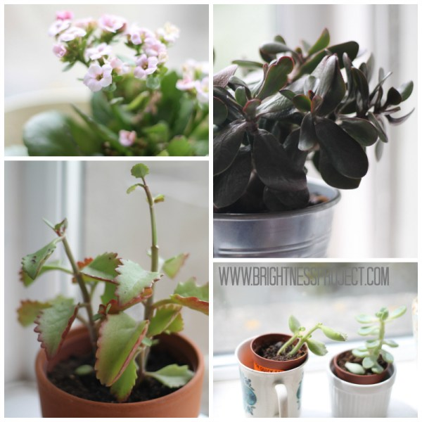 Succulent selection including Kalanchoe and Jade plant