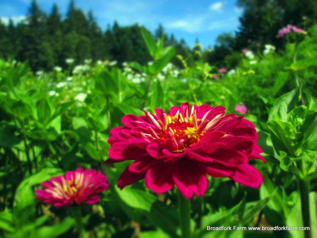 Uproar Rose zinnia