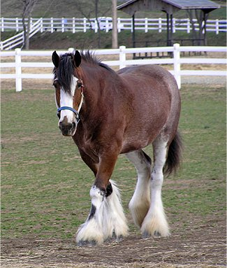clydesdale.jpg