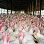 grippe-aviaire-fievre-aphteuse-vache-folle