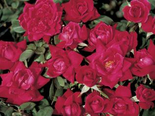 Knockout Roses at Bruce Miller Nursery