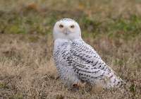 snowy-owl-550x