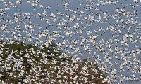 snow-geese-lake-champlain-2013
