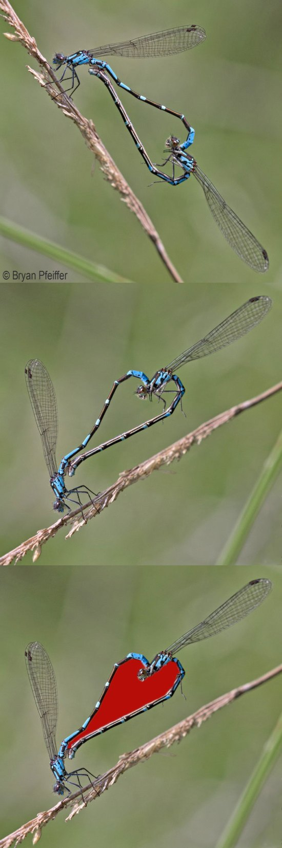 coenagrion-heart