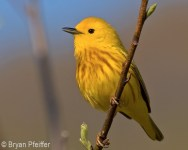 Yellow Warbler / © Bryan Pfeiffer