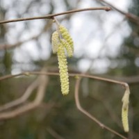catkins - signs of spring